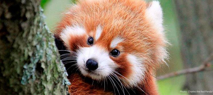 Panda Rojo - Firefox - Roca de Guía